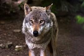 Vlk Šumava